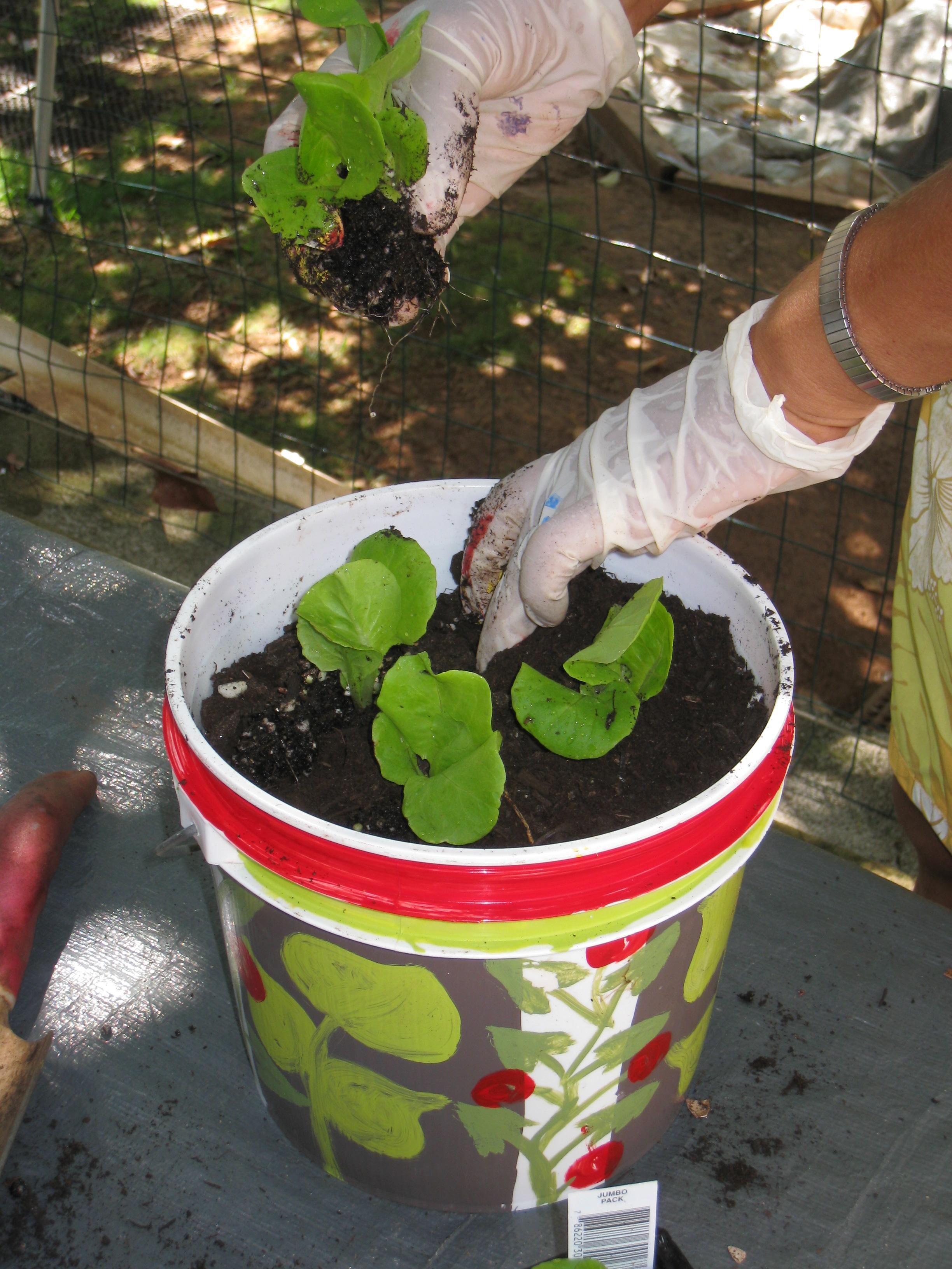 Kiana Bucket Gardening (6)